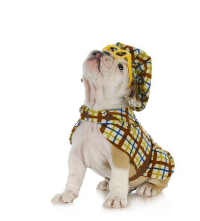 puppy detective - english bulldog puppy dressed up like a detective on white background photo