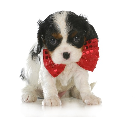 cute puppy - cavalier king charles spaniel wearing red bowtie sitting on white background photo