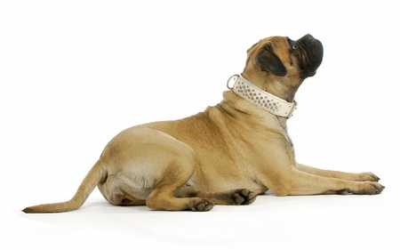 laying down: big dog - bull mastiff laying down looking up on white background