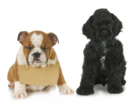 english cocker spaniel: two puppies - cocker spaniel and english bulldog puppy with sign around neck  - 7 weeks old