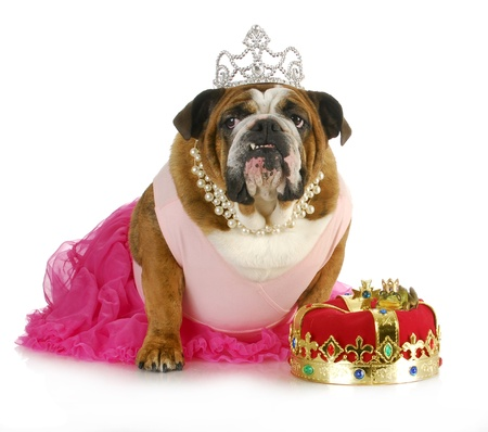 princess kissing a frog hoping for a prince - bulldog kissing a real toad wearing a crown photo