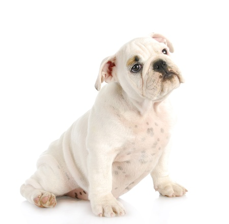cute puppy - english bulldog puppy sitting on white background - 10 weeks old photo
