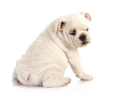 puppy looking over shoulder - english bulldog puppy looking over shoulder - 11 weeks old Stock Photo - 15844657