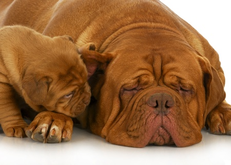bordeaux: mother and puppy - dogue de bordeaux mother and four week old puppy isolated on white background