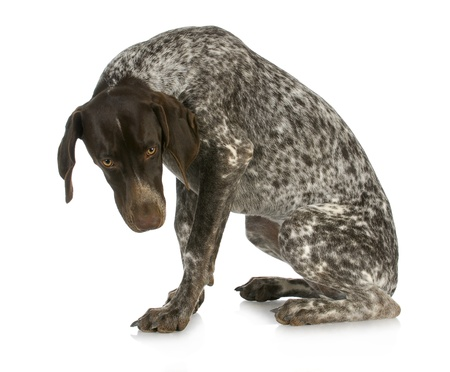 fear: bad dog - guilty looking german short haired pointer sitting with reflection on white background