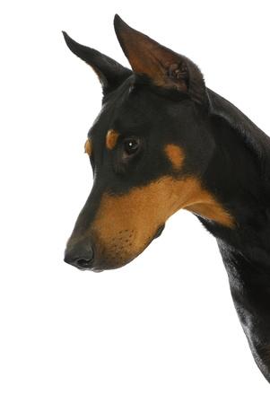 perro furioso: perro guardián - doberman pinscher en actitud protectora aislada en el fondo blanco