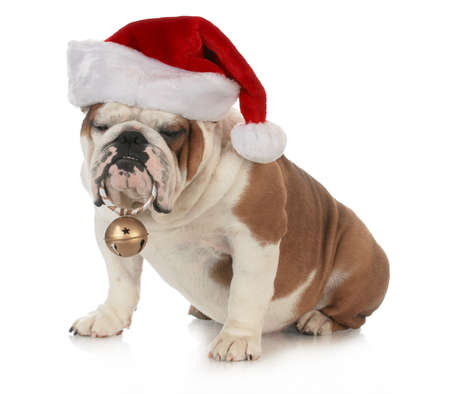 christmas costume: christmas dog - english bulldog wearing santa hat holding christmas bell on white background
