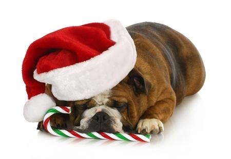 dog christmas: christmas dog - english bulldog laying down with candy cane