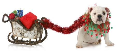 dog sled: dog pulling christmas sleigh - english bulldog tied to sleigh full of christmas presents on white background