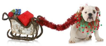 christmas sleigh: dog pulling christmas sleigh - english bulldog tied to sleigh full of christmas presents on white background