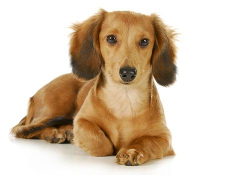 miniature breed: miniatura dachshund - perro salchicha de pelo largo que se establecen mira el espectador aislado sobre fondo blanco Foto de archivo