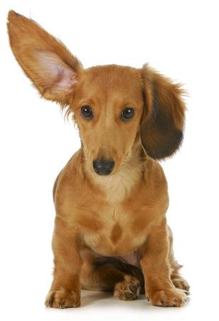 Hund zuhören - Miniatur langhaarigen Dackel mit einem Ohr zu hören isoliert auf weißem Hintergrund Standard-Bild