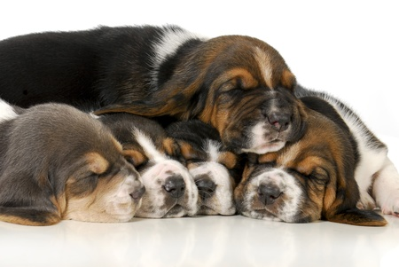 pile of puppies - litter of basset hound puppies - 3 weeks old  photo