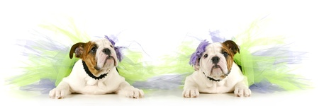 tutu babies - two english bulldog puppies wearing tutus on white background photo