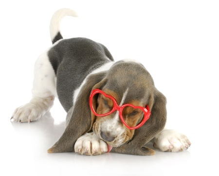 puppy love - basset hound puppy wearing heart shaped glasses - 8 weeks old Stock Photo - 17005462