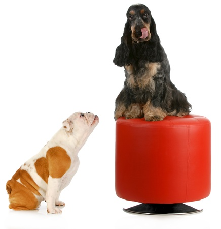 two dogs playing - english bulldog puppy being teased by english cocker spaniel sitting on red stool isolated on white background photo