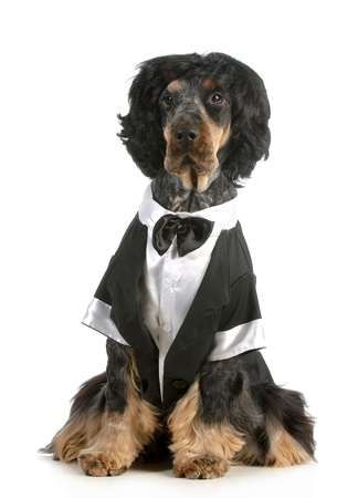 handsome dog - english cocker spaniel dressed up in tuxedo sitting isolated on white background