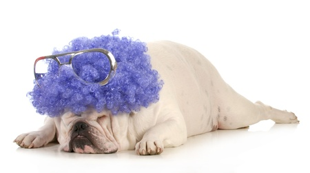 bloodlines: dog clown - bulldog dressed up like a clown with purple wig