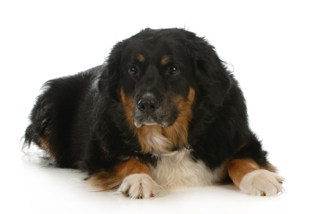 bernese mountain dog laying down looking at view on white background photo