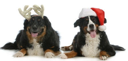 santa and rudolph dogs - bernese mountain dogs dressed up like santa and rudolph looking at viewer isolated on white background photo