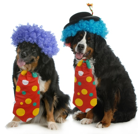 bloodlines: funny dogs - two bernese mountain dogs dressed up like clowns on white background