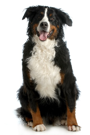 bernese dog: bernese mountain dog sitting looking at viewer isolated on white background
