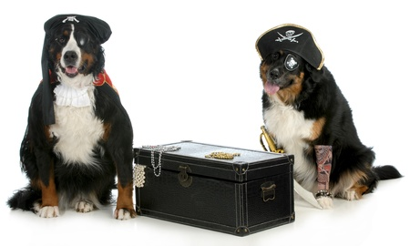 bernese dog: pirates - two bernese mountain dogs dressed up like pirates with chest full of treasures isolated on white background