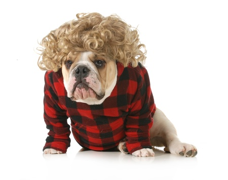 redneck dog - english bulldog humanized with blond wig and plaid jacket isolated on white background photo