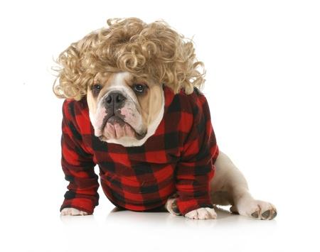 redneck: redneck dog - english bulldog humanized with blond wig and plaid jacket isolated on white background