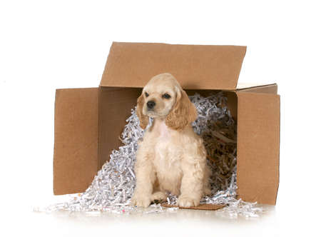 shipping puppy - american cocker spaniel puppy in a cardboard box with recycled paper isolated on white background