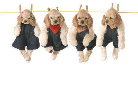 grooming: litter of puppies - four american cocker spaniel puppies hanging on a clothesline - 7 weeks old