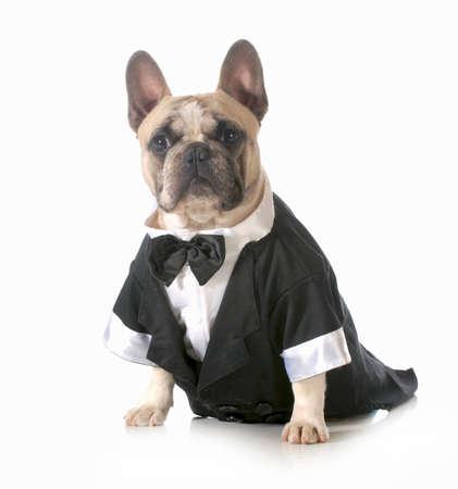 handsome dog - french bulldog dressed up wearing tuxedo isolated on white background  photo