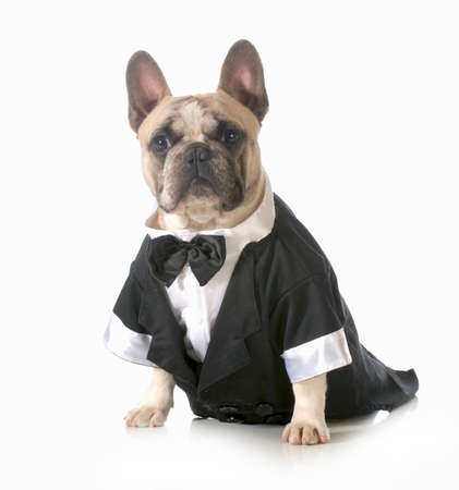 frenchie: handsome dog - french bulldog dressed up wearing tuxedo isolated on white background