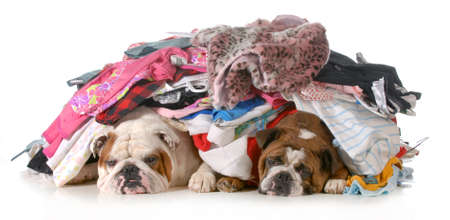 messy clothes: spring cleaning - two english bulldogs laying under a pile of clothes isolated on white background Stock Photo
