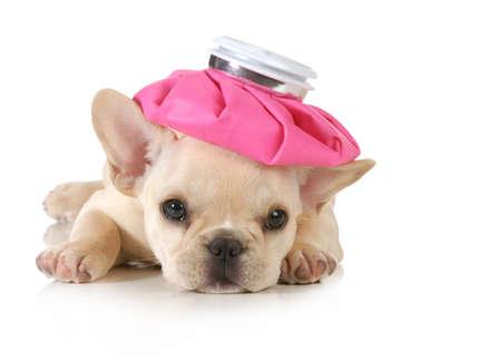 dolor de cabeza: cachorro enfermo - bulldog franc�s con bolsa de agua caliente sobre la cabeza aisladas sobre fondo blanco
