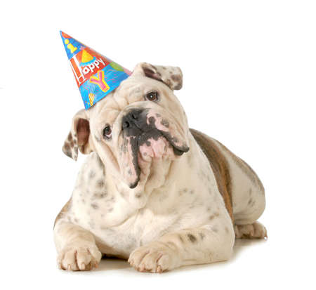 birthday dog - english bulldog wearing birthday hat isolated on white background