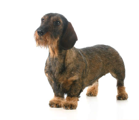 short haired: wirehaired dachshund standing isolated on white background