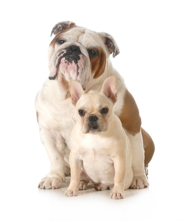 french and english bulldogs sitting looking at viewer isolated on white background photo