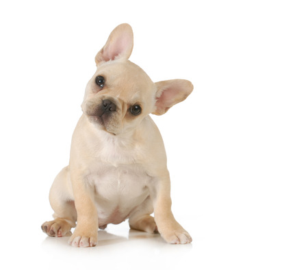 french bulldog: curious puppy - adorable french bulldog puppy with cute expression looking at viewer on white
