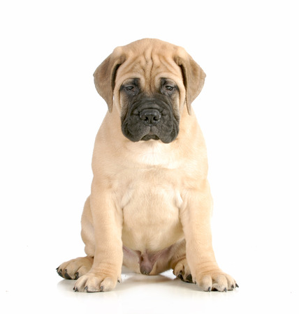 bullmastiff: bullmastiff puppy sitting looking at viewer isolated on white background - 8 weeks old