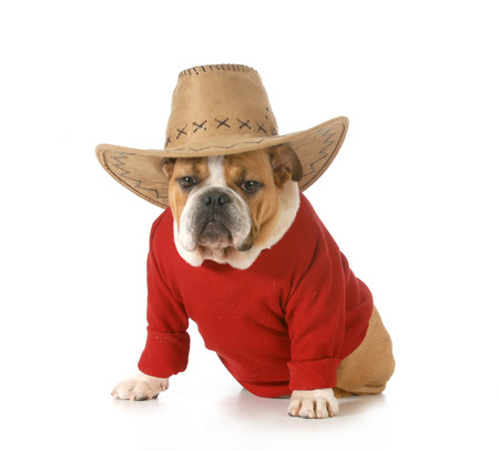 british bulldog: country dog - english bulldog wearing red shirt and western hat isolated on white background - 6 months old