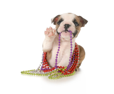 english girl: playful puppy chewing on beads - english bulldog 7 weeks old isolated on white background