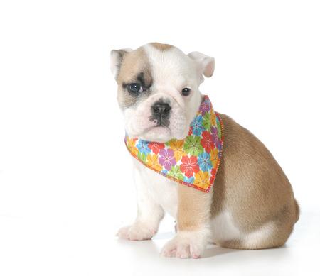 flowered: cute bulldog puppy female wearing flowered bandanna isolated on white background - 7 weeks old