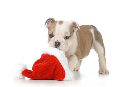 distressing: christmas puppy - english bulldog puppy carrying santa hat isolated on white background - 7 weeks old Stock Photo