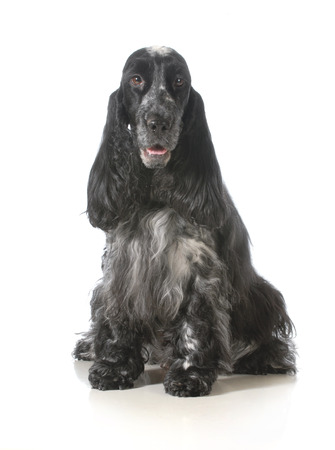 english cocker spaniel sitting looking at viewer isolated on white background photo