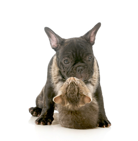 puppy love - kitten with arms wrapped around french bulldog puppy giving a hug isolated on white background photo