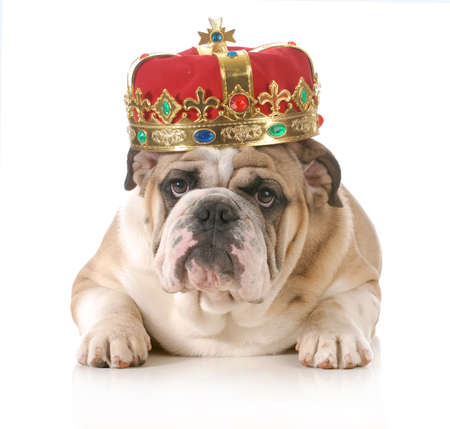 reign: dog wearing crown - english bulldog wearing kings crown laying looking at viewer isolated on white background
