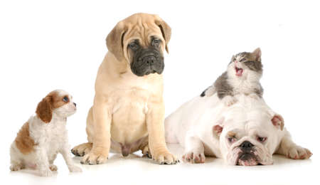 animal related: dog and cat fight - cavalier king charles spaniel, bull mastiff, english bulldog and domestic long haired kitten arguing isolated on white background Stock Photo
