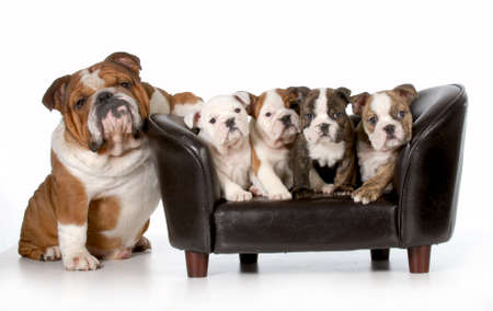 british  english: dog family - english bulldog father sitting beside litter of four puppies sitting on couch isolated on white background