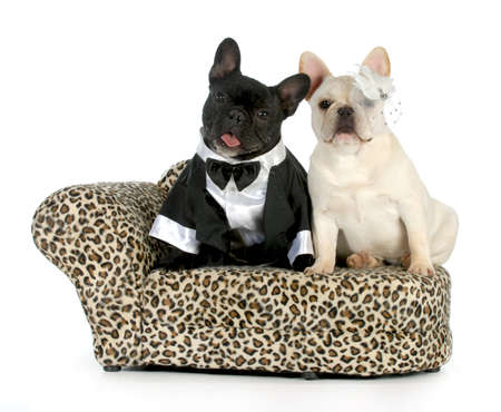marry: dog couple - french bulldogs dressed up like a man and woman isolated on white background